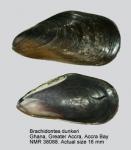 Brachidontes tenuistriatus