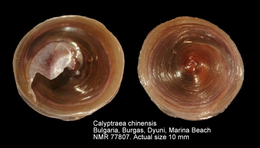 Calyptraea chinensis