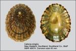 Cellana strigilis