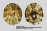 Cellana turbator