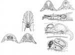 Bulbotoplana acephala