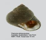 Clanculus atropurpureus