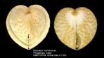 Corculum monstrosum