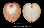 Corculum roseum
