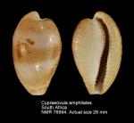 Cypraeovula amphitales