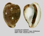 Cypraeovula mikeharti