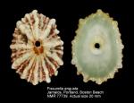 Fissurella angusta