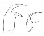 Polystyliphora filum