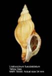 Lirabuccinum fuscolabiatum