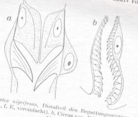 Entomophthorales