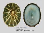 Lottia jamaicensis
