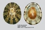 Lottia tenuisculpta
