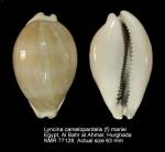 Lyncina camelopardalis