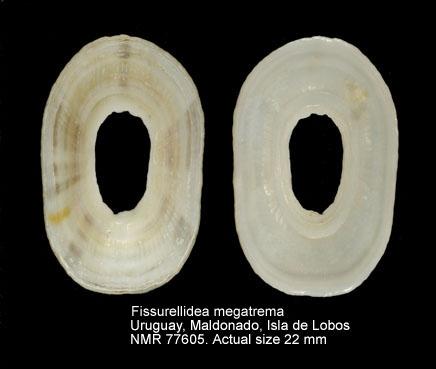 Fissurellidea megatrema
