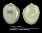 Maoricrypta sodalis