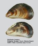 Mytilaster lineatus
