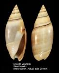Olivella gracilis