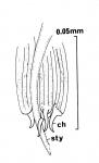 Archimonocelis helfrichi