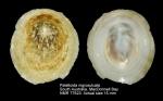 Patelloida nigrosulcata