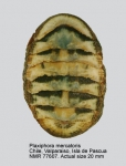 Plaxiphora mercatoris