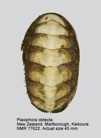 Plaxiphora obtecta
