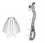 Archimonocelis medusa