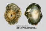 Siphonariidae