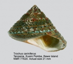 Trochus cariniferus