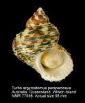 Turbo argyrostomus perspeciosus