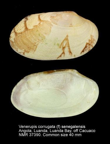Venerupis corrugata