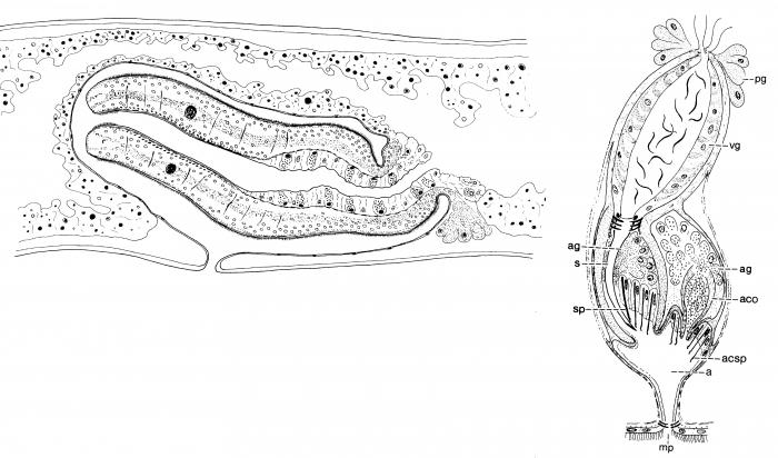 Archimonocelis staresoi