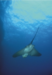 Common eagle ray - Myliobatis aquila (Linnaeus, 1758)