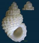 Alvania subcrenulata (Bucquoy, Dautzenberg & Dollfus, 1884)