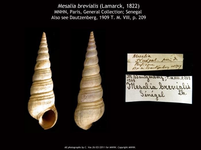 Mesalia brevialis (Lamarck, 1822)