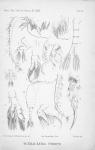 Schmackeria forbesi Poppe & Richard 1890