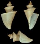 Thatcheria mirabilis Angas, G.F., 1877