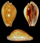 Perisserosa guttata guttata (Gmelin, J.F., 1791)