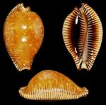 Perisserosa guttata surinensis Raybaudi Massilia, L., 1978