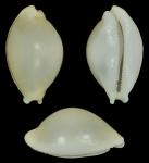 Cryptocypraea dillwyni
