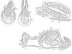 Duplominona instanbulensis