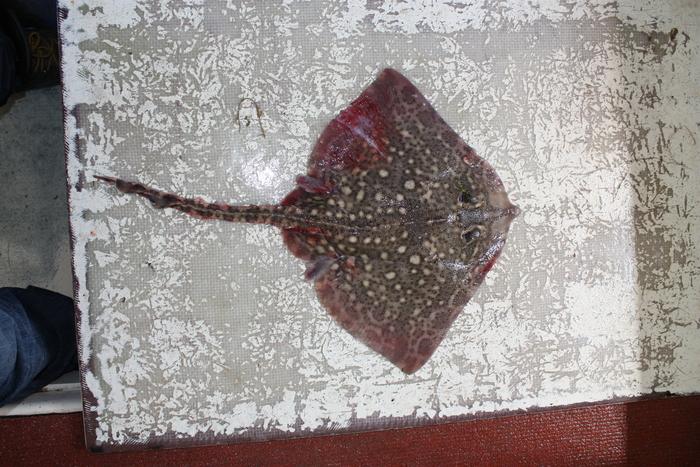 Thornback ray - Raja clavata