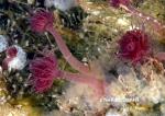Zyzzyzus rubusidaeus, Vancouver Island, BC, Canada