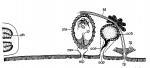 Minona heronensis