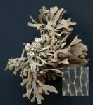 Chartella papyracea (Ellis & Solander, 1786)