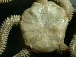 Neotype dorsal