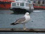 Immature Caspian Gull
