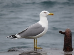 Adult Caspian Gull