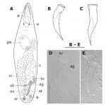 Brunetorhynchus cannoni