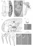 Brunetorhynchus microstylis