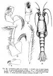Part: Total dorsal